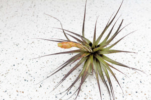 Pack of 5 or 10 Large Tillandsia Fasciculata Tricolor 'Golden Torch' Air Plants - Save Up to 60%