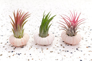 Pink Urchin Pack of 3 with Air Plants