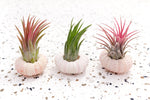Wholesale - Pink Urchins with Tillandsia Air Plants
