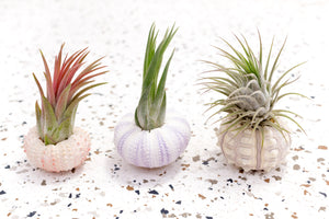 Sea Urchin Variety Pack with Air Plants