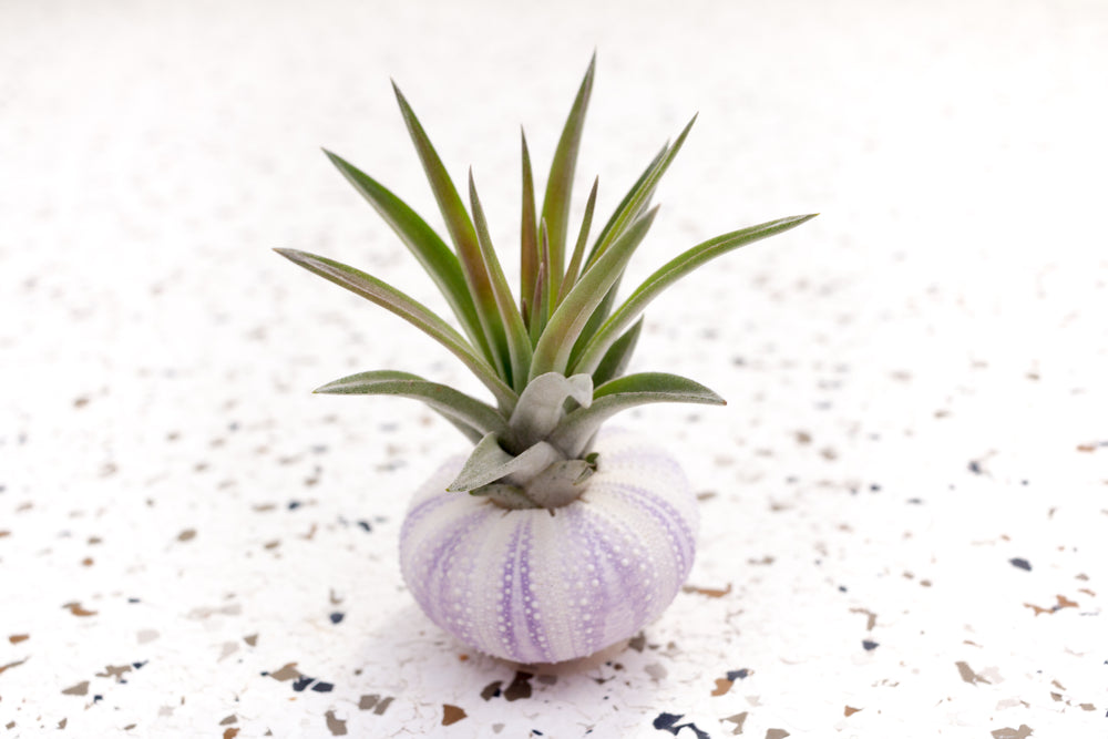 Wholesale - Purple Urchin with Tillandsia Air Plants