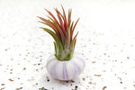 Purple Urchin Pack of 3 with Air Plants