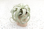 Wooden Driftwood Container with a Mini Xerographica Air Plant