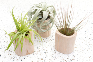 Wholesale - Wooden Driftwood Containers with Custom Air Plants
