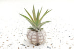 Sputnik Urchin Pack of 3 with Air Plants