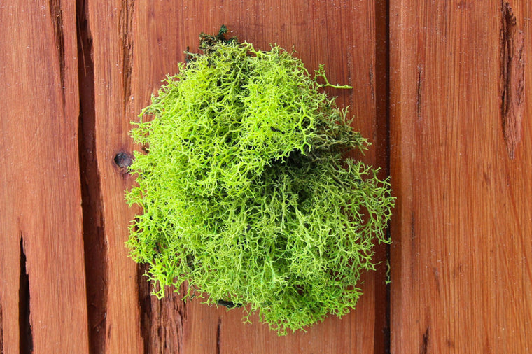 Wholesale - Chartreuse Green Reindeer Moss - Terrarium Supplies
