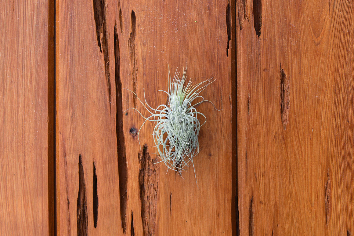 Wholesale - Wooden Seed Pod Container with a Tillandsia Magnusiana Air Plant