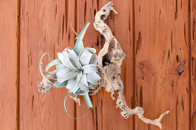 Rustic Grapewood Branch with a Tillandsia Xerographica Air Plant