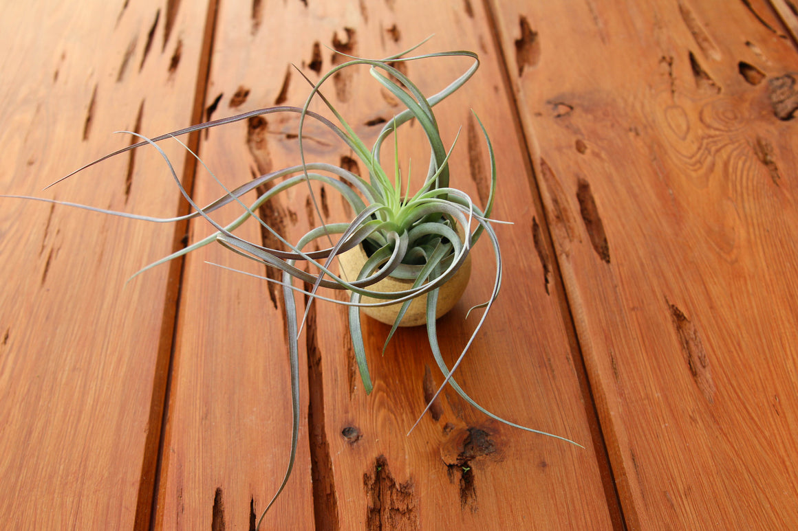 Wooden Seed Pod Container with a Tillandsia Heather's Blush Air Plant