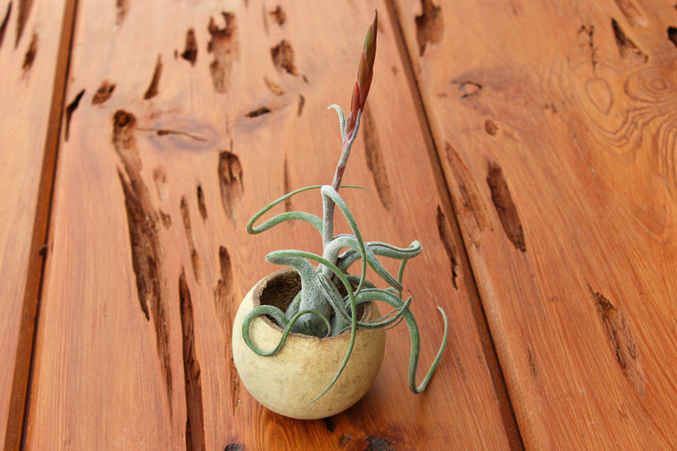 Wooden Seed Pod Container with Tillandsia Caput Medusae Air Plant