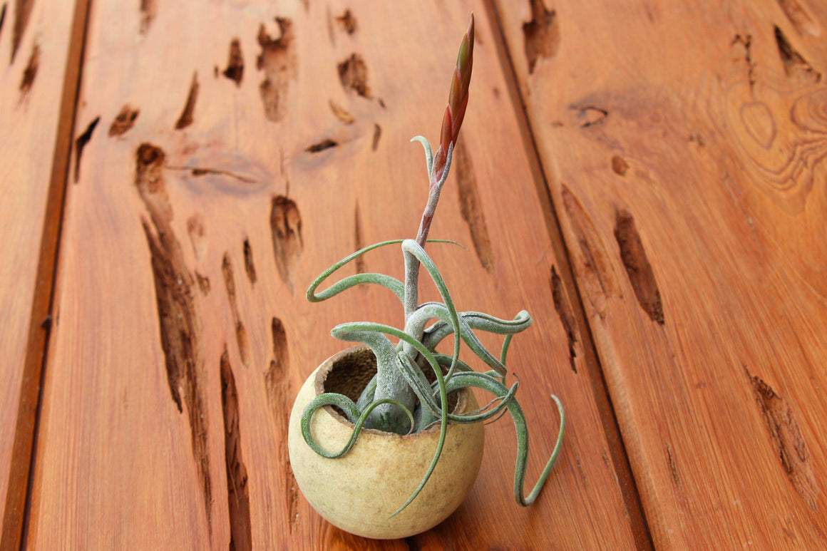 Wholesale - Wooden Seed Pod Container with Tillandsia Caput Medusae Air Plant