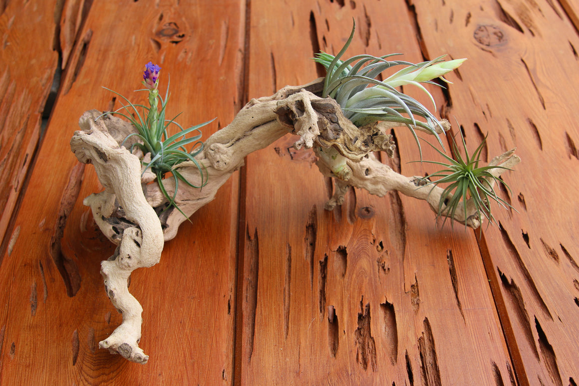 Grapewood Branches with Air Plants - Rustic Tillandsia Displays