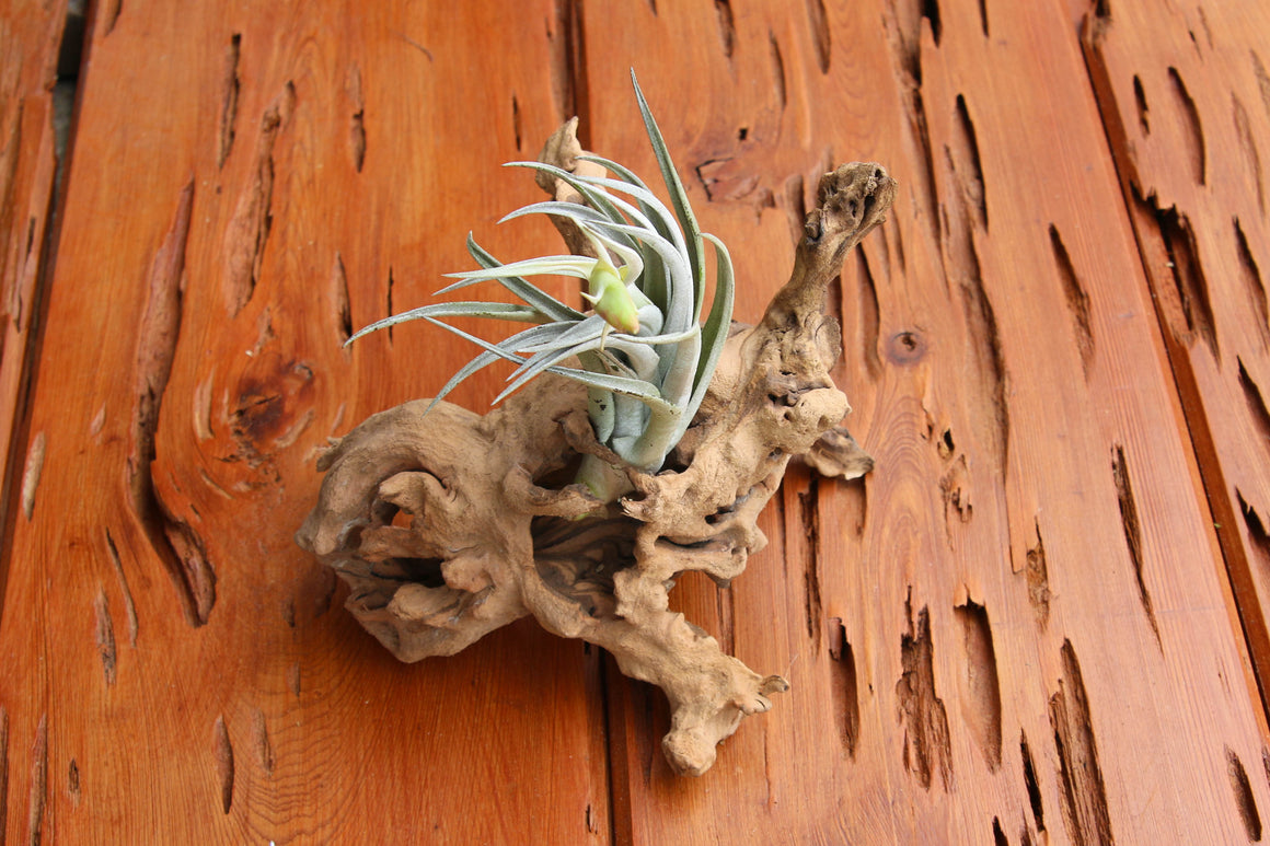 Rustic Dragonwood [Copper Colored Grapewood] Branch with Air Plants
