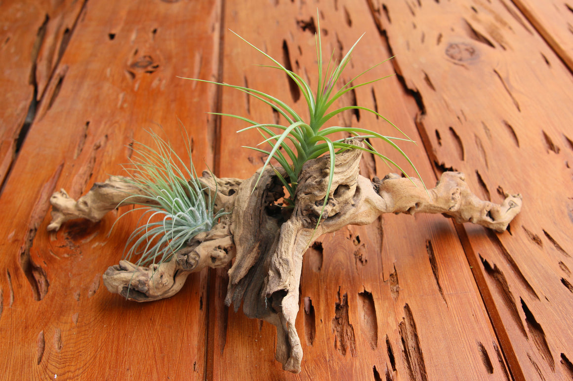 Wholesale - Rustic Dragonwood [Copper Colored Grapewood] Branch with Air Plants