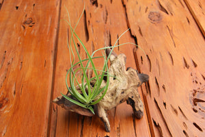 Wholesale - Mopani Wood Branches with Air Plants - Rustic Tillandsia Displays