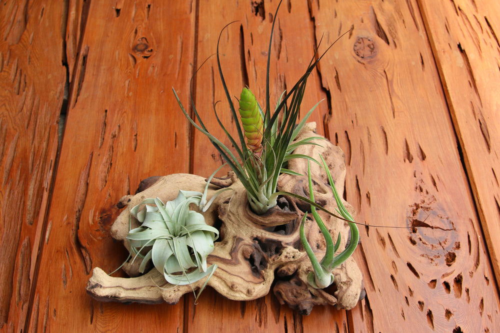 Mopani Wood Branches with Air Plants - Rustic Tillandsia Displays