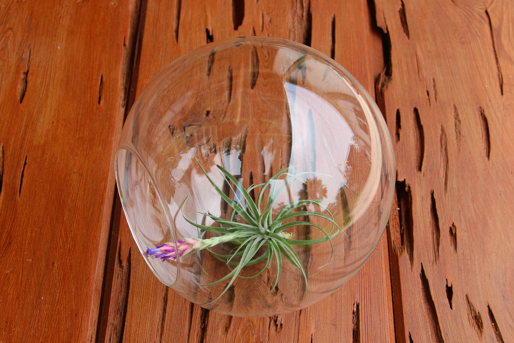 Wholesale - Large Glass Terrarium with 2 Open Ends