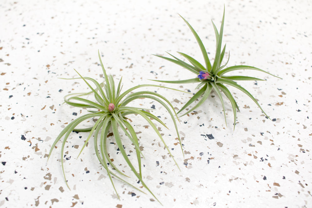 Tillandsia Aeranthos Air Plants