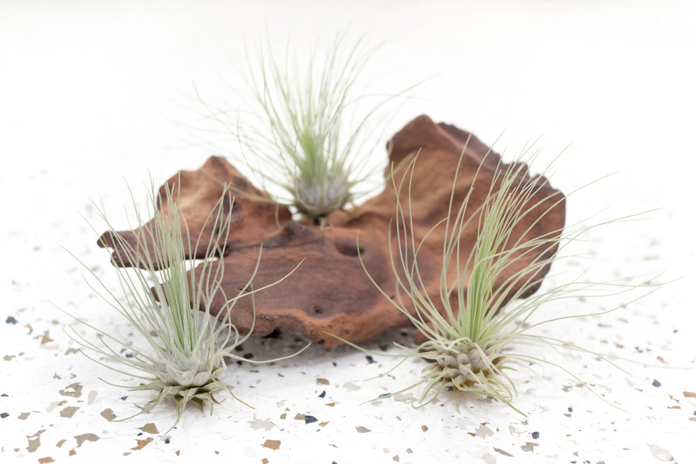 Wholesale - Tillandsia Argentea Thin 'Fuchsii' Air Plants