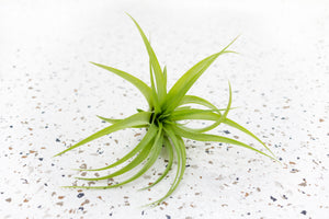 Pack of 10 or 20 Abdita Brachycalous Air Plants - Save 70%