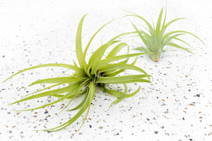 10 Medium & Large Premium Tillandsia Air Plants