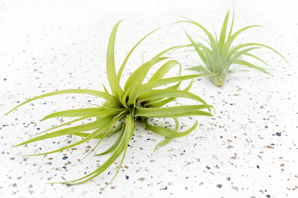 Wholesale Special - Tillandsia Green Abdita Brachycaulos Air Plants [Min Order 36]