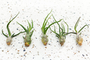 Wholesale - Tillandsia Bulbosa Air Plants