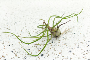 Tillandsia Bulbosa Air Plants