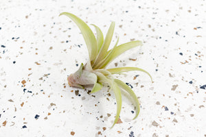 Packs of 5 or 10 Tillandsia Capitata Peach Air Plants - Save 50%