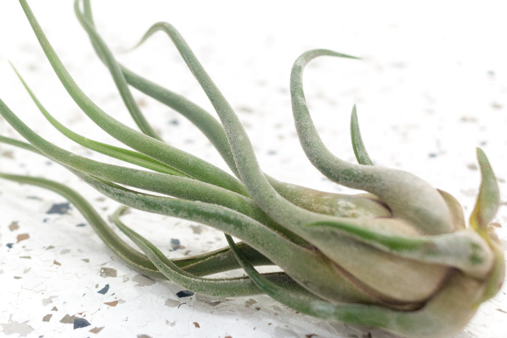 Packs of 10 or 20 Tillandsia Caput Medusae Air Plants - Save Up to 70%