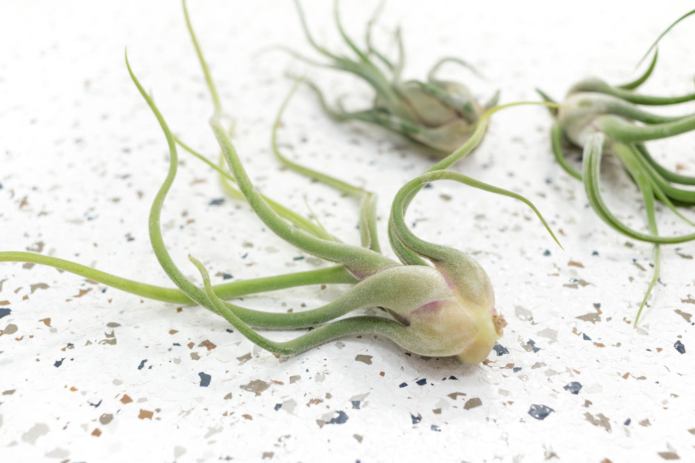 Packs of 10 or 20 Tillandsia Caput Medusae Air Plants - Save 70%