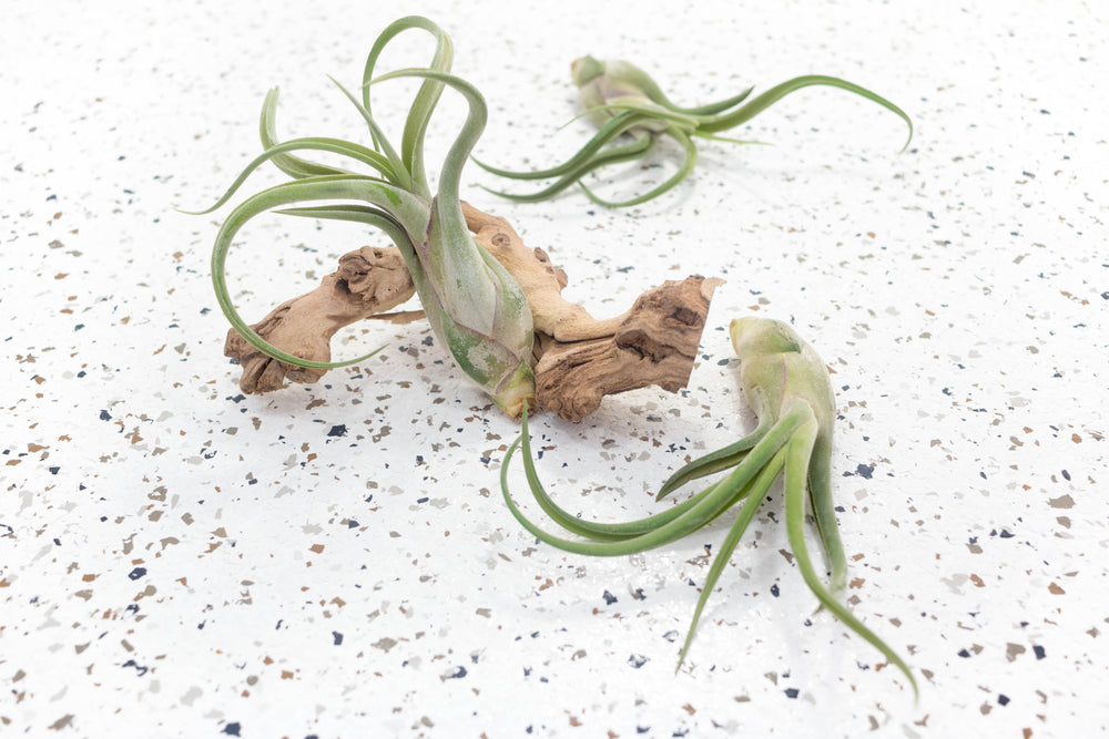 Packs of 5, 10 or 20 - Tillandsia Caput Medusae Air Plants - Save Up to 50%