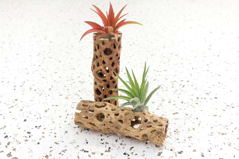 Natural Cholla Cactus Containers with Assorted Air Plants