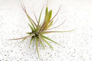 Tillandsia Concolor Air Plants