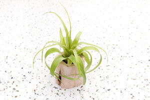 Wholesale - Small Wooden Driftwood Containers with Assorted Air Plants