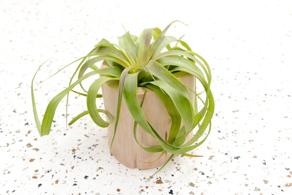 Trio of Large Wooden Driftwood Containers with Assorted Large Air Plants