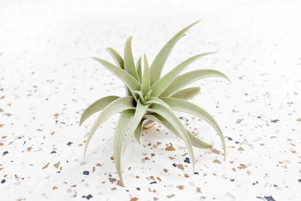 Wholesale - Tillandsia Harrisii Air Plants