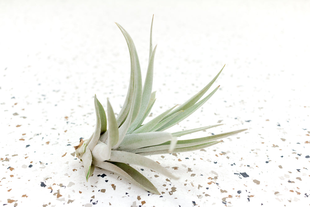 Packs of 5, 10 or 15 Tillandsia Harrisii Air Plants - Save Up to 40%