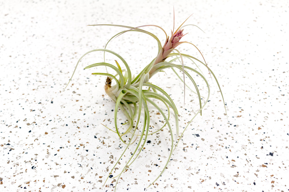 Tillandsia 'Heather's Blush Air Plants