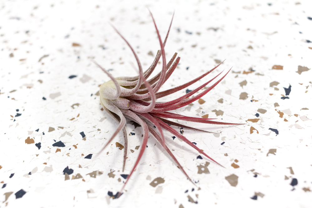 Tillandsia Ionantha Fuego Air Plants