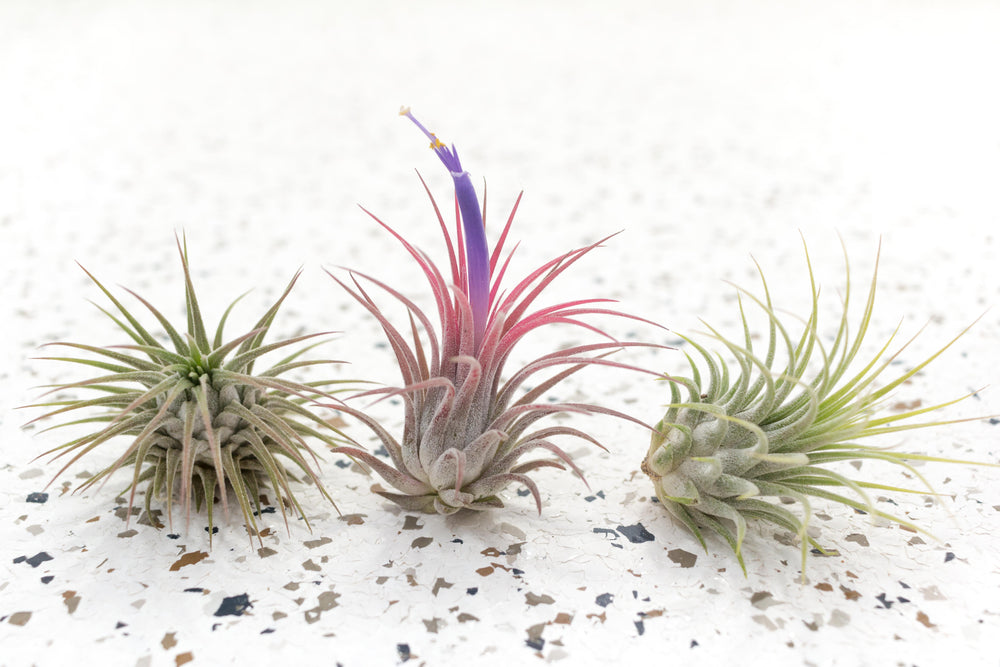 Pack of 5, 10 or 20 Large Tillandsia Ionantha Guatemala Air Plants - Save up to 50%