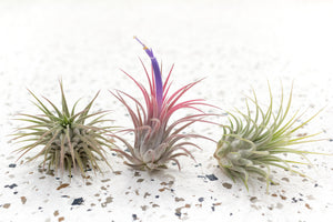 Pack of 5, 10 or 20 Tillandsia Ionantha Guatemala Air Plants - Save up to 50%