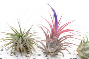 Packs of 10, 20 or 30 - Budding, Blushing & Blooming Air Plant Variety Pack