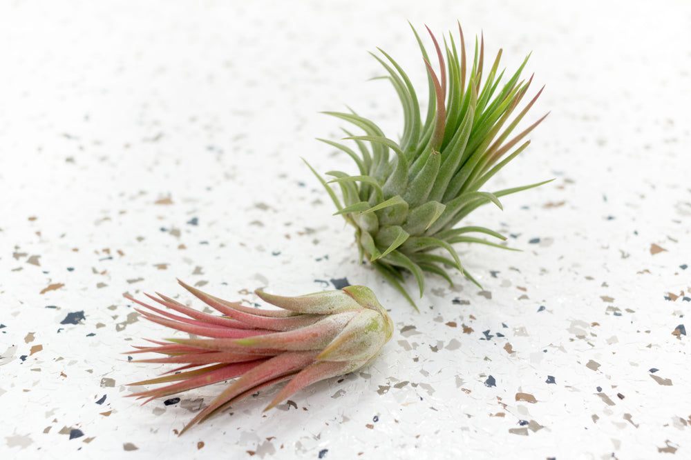 Small Air Plant Combination Grab Bag - Set of 5 Plants