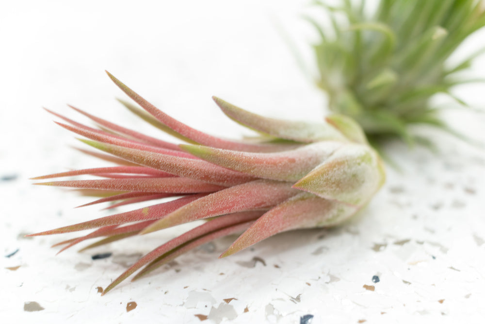 Tillandsia Ionantha Mexican Air Plants
