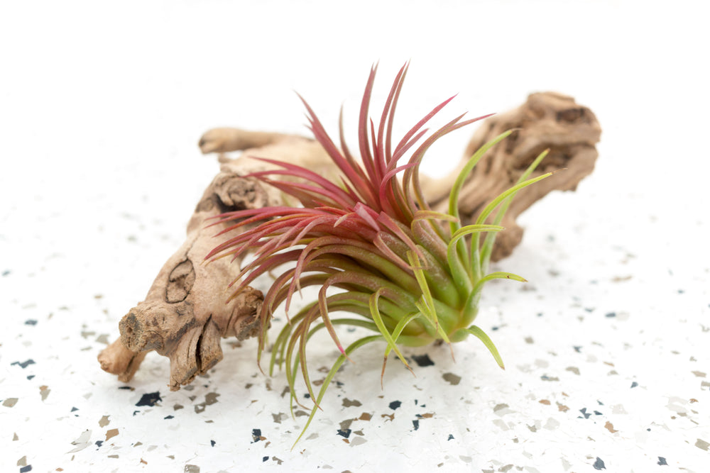 Pack of 5, 10 or 20 XL Tillandsia Ionantha Rubra Air Plants - Save up to 45%