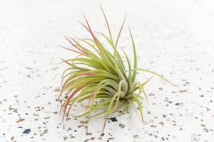 Pack of 5, 10 or 20 Tillandsia Ionantha Rubra Air Plants - Save up to 45%