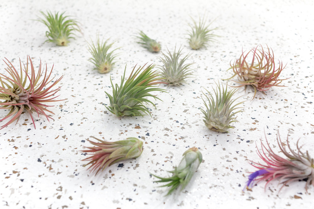 Wholesale Special - Tillandsia Ionantha Small Plant Variety [Min Order 36]