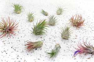 Wholesale - Storefront Starter Pack - Set of 33 Medium-Large Air Plants + 15 Ionanthas