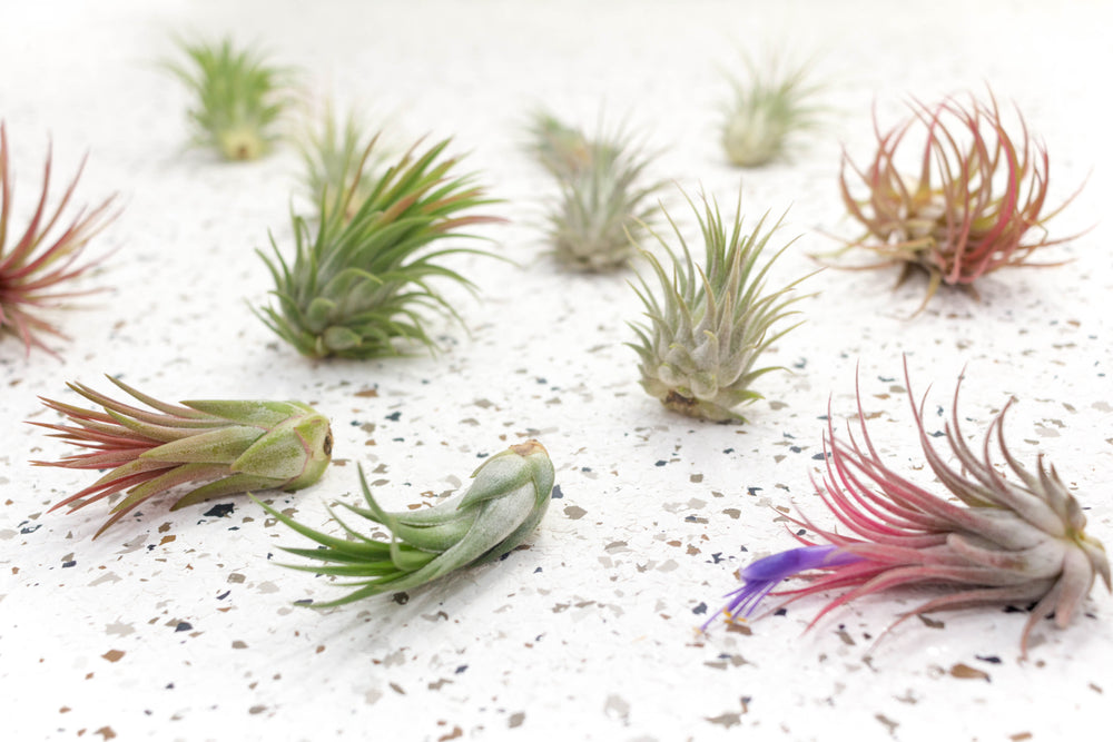 Pack of 10, 20 or 30 Tillandsia Ionantha Variety Air Plants - Save 60%